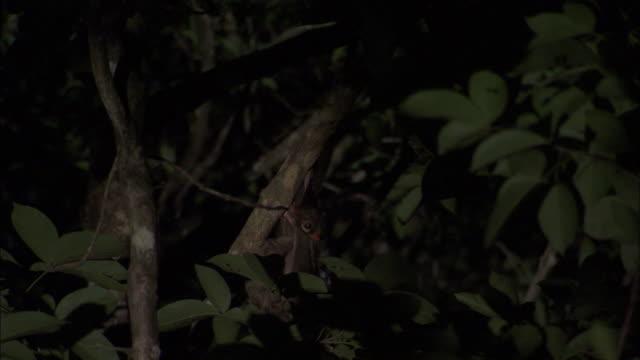 sunda colugo (galeopterus variegatus) climbs along branch, sarawak, borneo - サラワク州点の映像素材/bロール