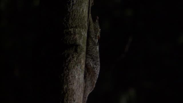 Sunda colugo (Galeopterus variegatus) clings to tree trunk, Sarawak, Borneo