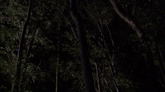 sunda colugo (galeopterus variegatus) glides in forest, sarawak, borneo - サラワク州点の映像素材/bロール