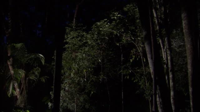 Sunda colugo (Galeopterus variegatus) glides in forest, Sarawak, Borneo