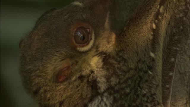 sunda colugo (galeopterus variegatus) in forest, sarawak, borneo - サラワク州点の映像素材/bロール