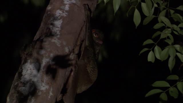 sunda colugo (galeopterus variegatus) looks around on tree trunk, sarawak, borneo - サラワク州点の映像素材/bロール
