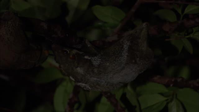 stockvideo's en b-roll-footage met sunda colugos (galeopterus variegatus) in tree, sarawak, borneo - tropisch regenwoud