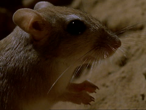 bcu sundevall's jird standing in profile, oman - mouse animal stock videos & royalty-free footage