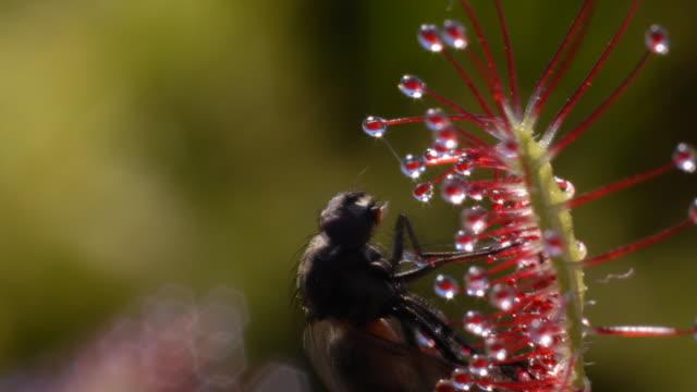 vídeos y material grabado en eventos de stock de sundew (drosera capensis) bcu curls over fly - carnivorous plant