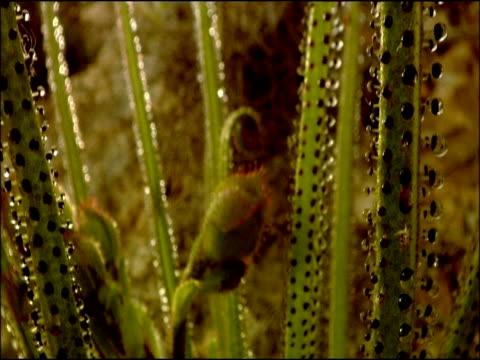 sundew (drosera sp.), parque natural los alcornocales (cadiz y malaga), andalucia, spain - lunghezza video stock e b–roll