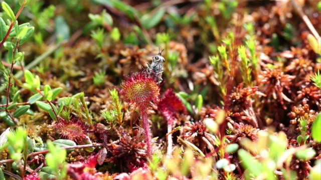 sundews (drosera carnivorous plant) hd - housefly stock videos & royalty-free footage