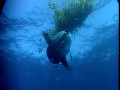 stockvideo's en b-roll-footage met sunfish at cleaning station under kelp, california - klompvis