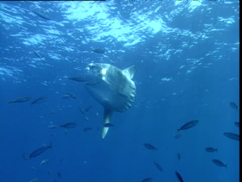 Sunfish hangs in water as shoal of smaller fish swim past, California