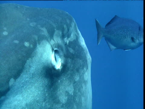 stockvideo's en b-roll-footage met sunfish protectively retracts eye as blue fish swims near, california - klompvis