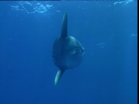 stockvideo's en b-roll-footage met sunfish slowly swims through blue ocean, california - klompvis