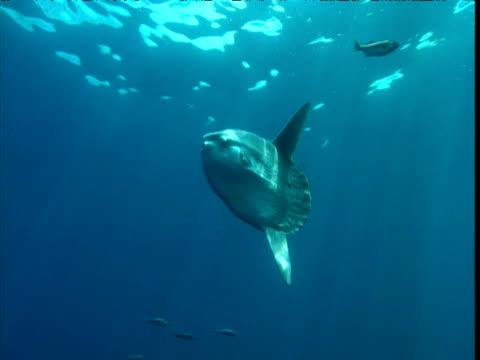 stockvideo's en b-roll-footage met sunfish swim through blue ocean followed by shoals of fish, california - klompvis