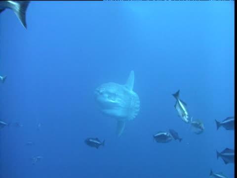 stockvideo's en b-roll-footage met sunfish swims behind fish shoal, california - klompvis