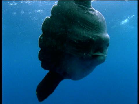 stockvideo's en b-roll-footage met sunfish swims gracefully, pacific ocean - klompvis
