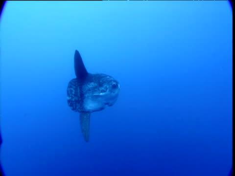 stockvideo's en b-roll-footage met sunfish swims into distance, california - klompvis