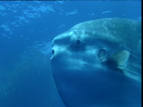 Sunfish swims through blue ocean, California