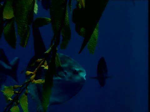 stockvideo's en b-roll-footage met sunfish swims through ocean, california - klompvis