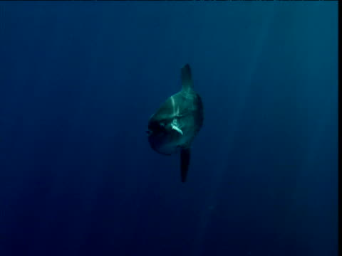 stockvideo's en b-roll-footage met sunfish swims through sunbeams, california - klompvis