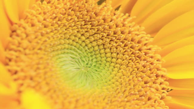 sunflower 4k - extreme close up stock videos & royalty-free footage