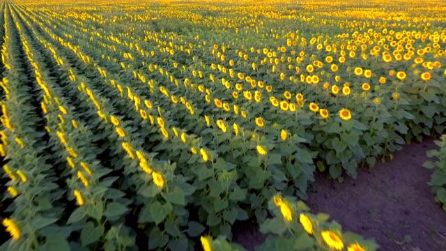 Sonnenblume Luftbild