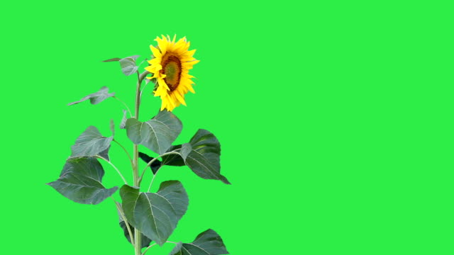 sunflower against a green background - petal stock videos & royalty-free footage