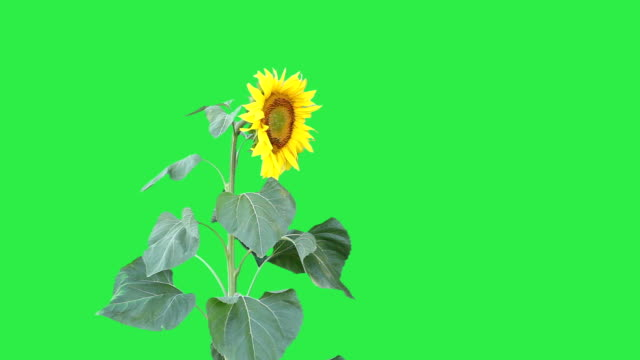 sunflower against a green background - sunflower stock videos & royalty-free footage