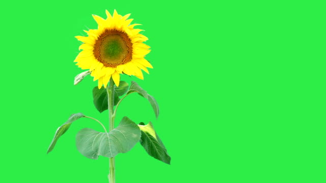 Sunflower against a green background