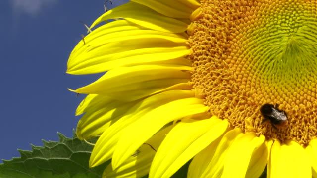 Sunflower Against Blue Sky Close-up