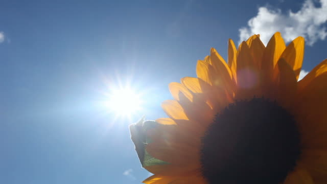 sunflower against light - frische stock videos & royalty-free footage