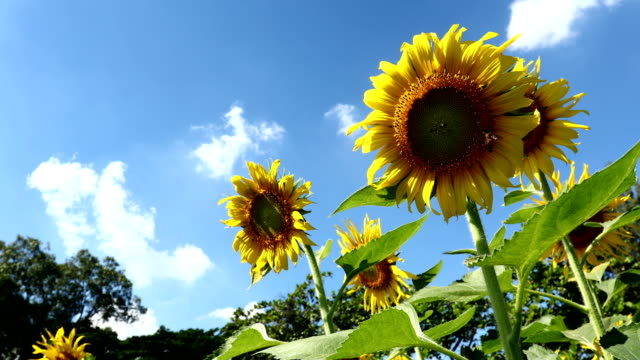 Sunflower and bee in clear blue sky