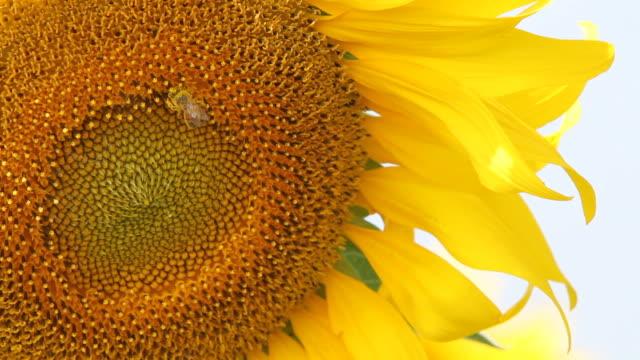vídeos y material grabado en eventos de stock de girasol y abeja - pistilo