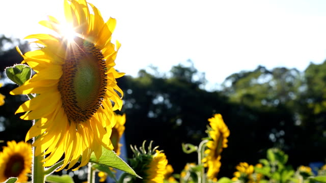 sunflower and sun - sunflower stock videos and b-roll footage