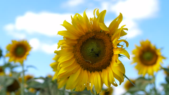 sunflower at cloudy sky - sunflower stock videos and b-roll footage