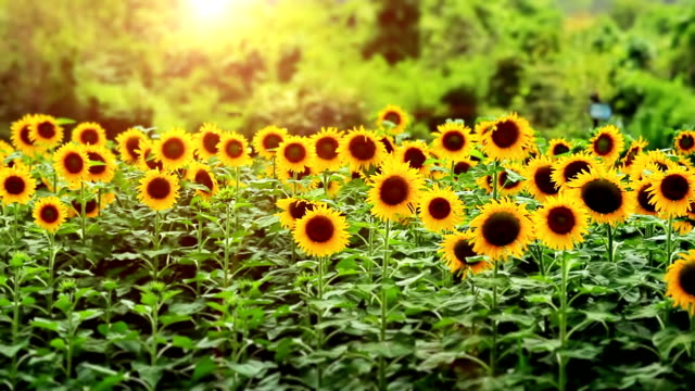 sunflower at sunset - sunflower stock videos and b-roll footage