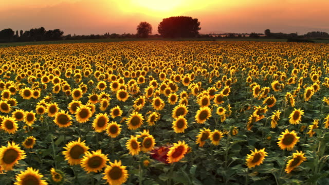 sunflower beauty - sunflower stock videos and b-roll footage