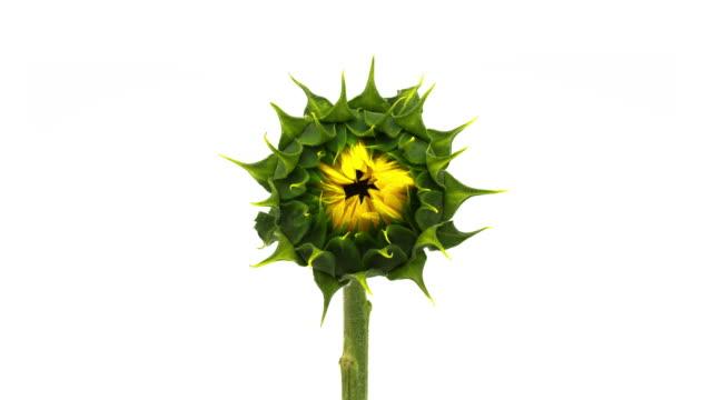 vídeos de stock e filmes b-roll de sunflower blooming time lapse - flores