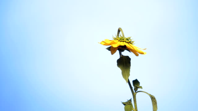 Sunflower blooming