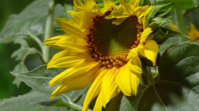 tl sunflower blooms in field, uk - ヒマワリ点の映像素材/bロール