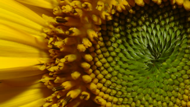 tl sunflower blooms in field, uk - petal stock videos & royalty-free footage