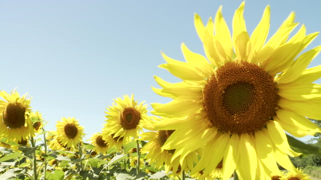 ms sunflower blowing in wind / lit-et-mixe, aquitaine,  france - aquitaine stock videos and b-roll footage