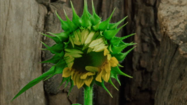 A sunflower bud opens. Available in HD.