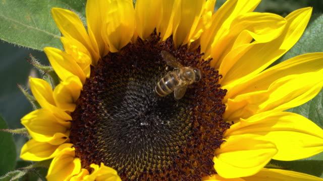 Sonnenblume mit Biene in der Nähe
