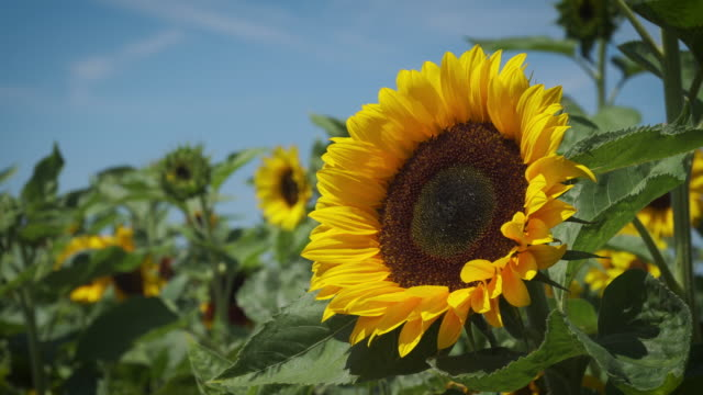 sunflower close-up - temperate flower stock videos & royalty-free footage