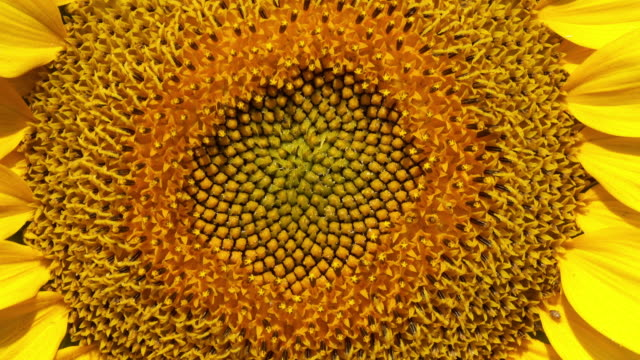 sunflower close-up - yellow stock videos & royalty-free footage