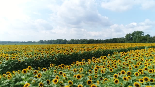 sunflower farm - sunflower stock videos and b-roll footage