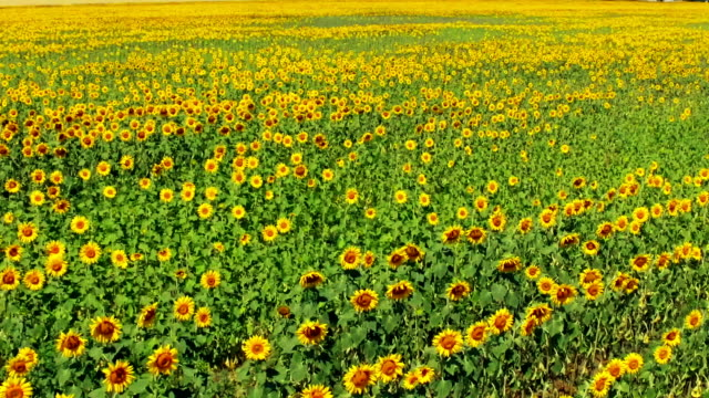 sunflower field. aerial view - sunflower stock videos and b-roll footage