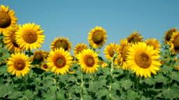 Sunflower field, agriculture (Izmir / Foca)