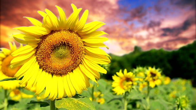 sunflower field and sunset - crop stock videos & royalty-free footage