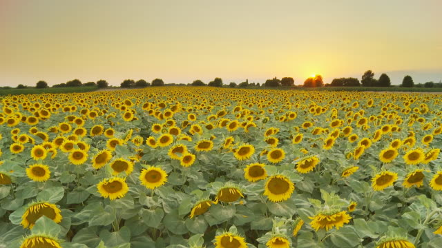 HD CRANE: Sunflower Field At Dusk