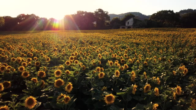 sunflower field at sunset - sunflower stock videos and b-roll footage
